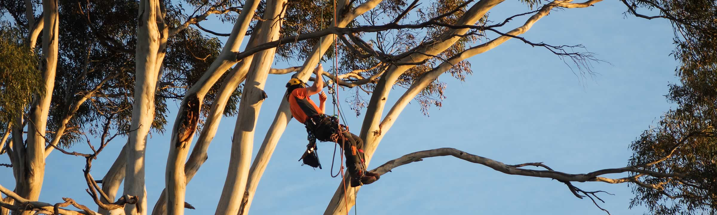 Experienced arborist at work.